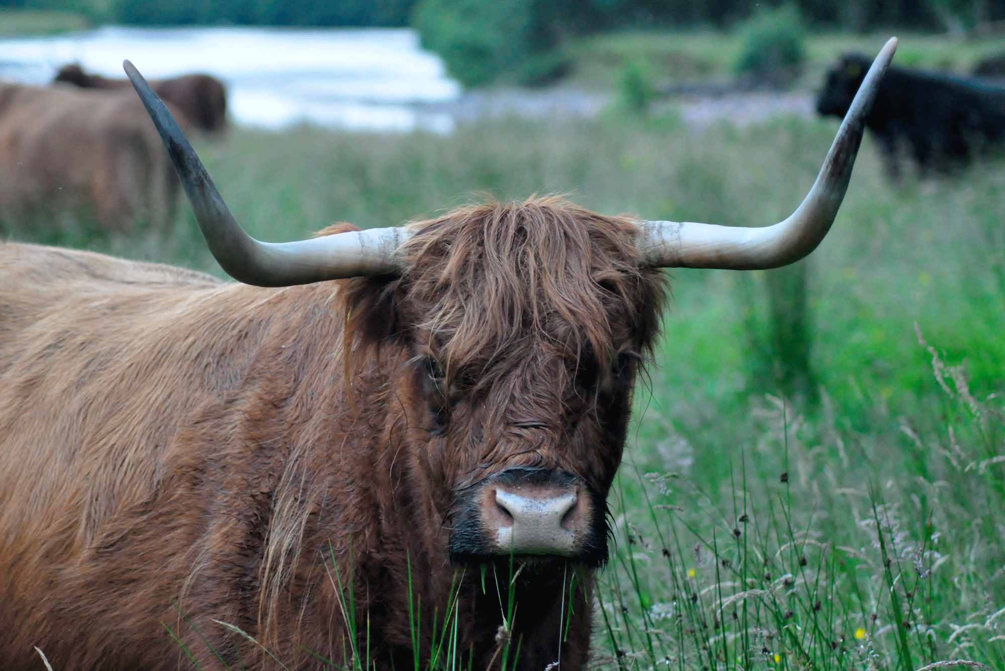 Highland cow at fort william