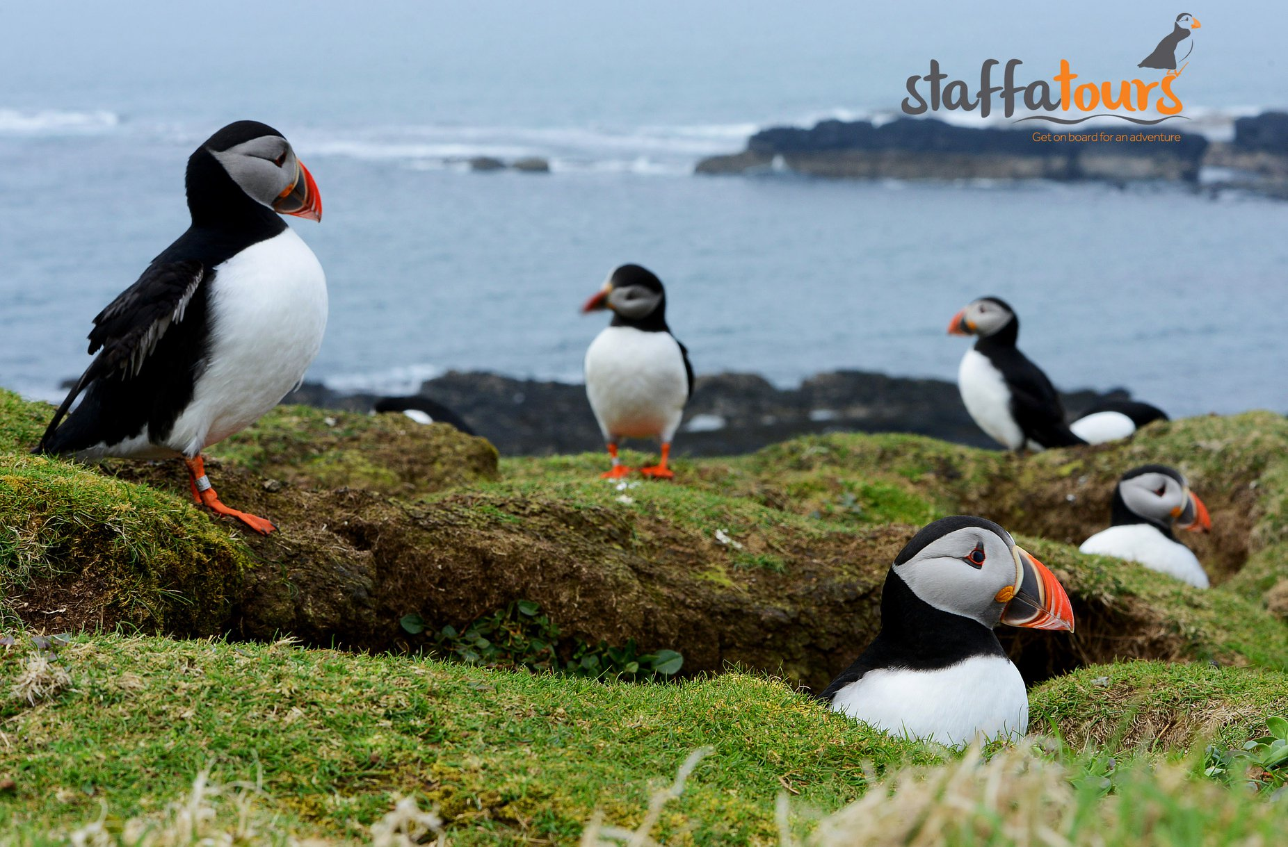 Puffins on Oban Sea Tours